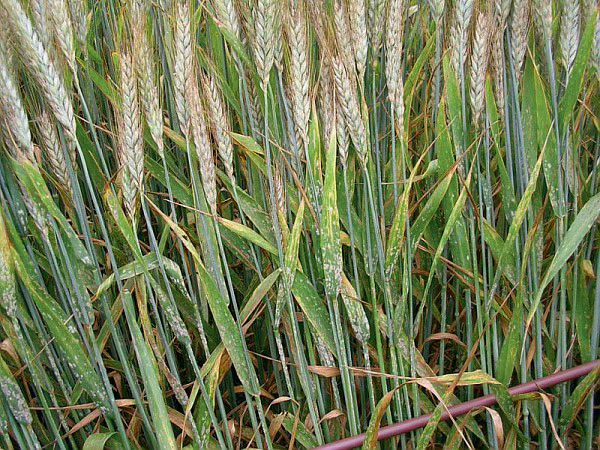 Photo of Le triticale profite de l'innovation