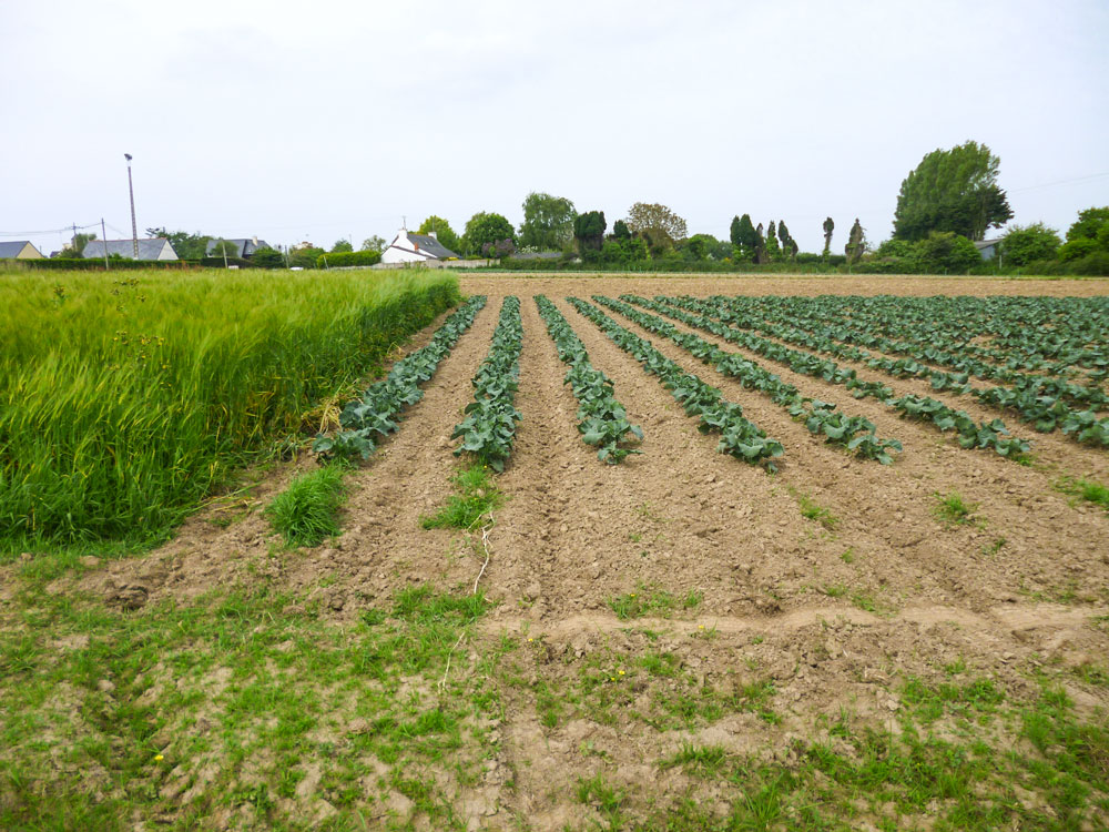 Photo of Trèfle blanc sous couvert, excellent engrais vert pour les légumes
