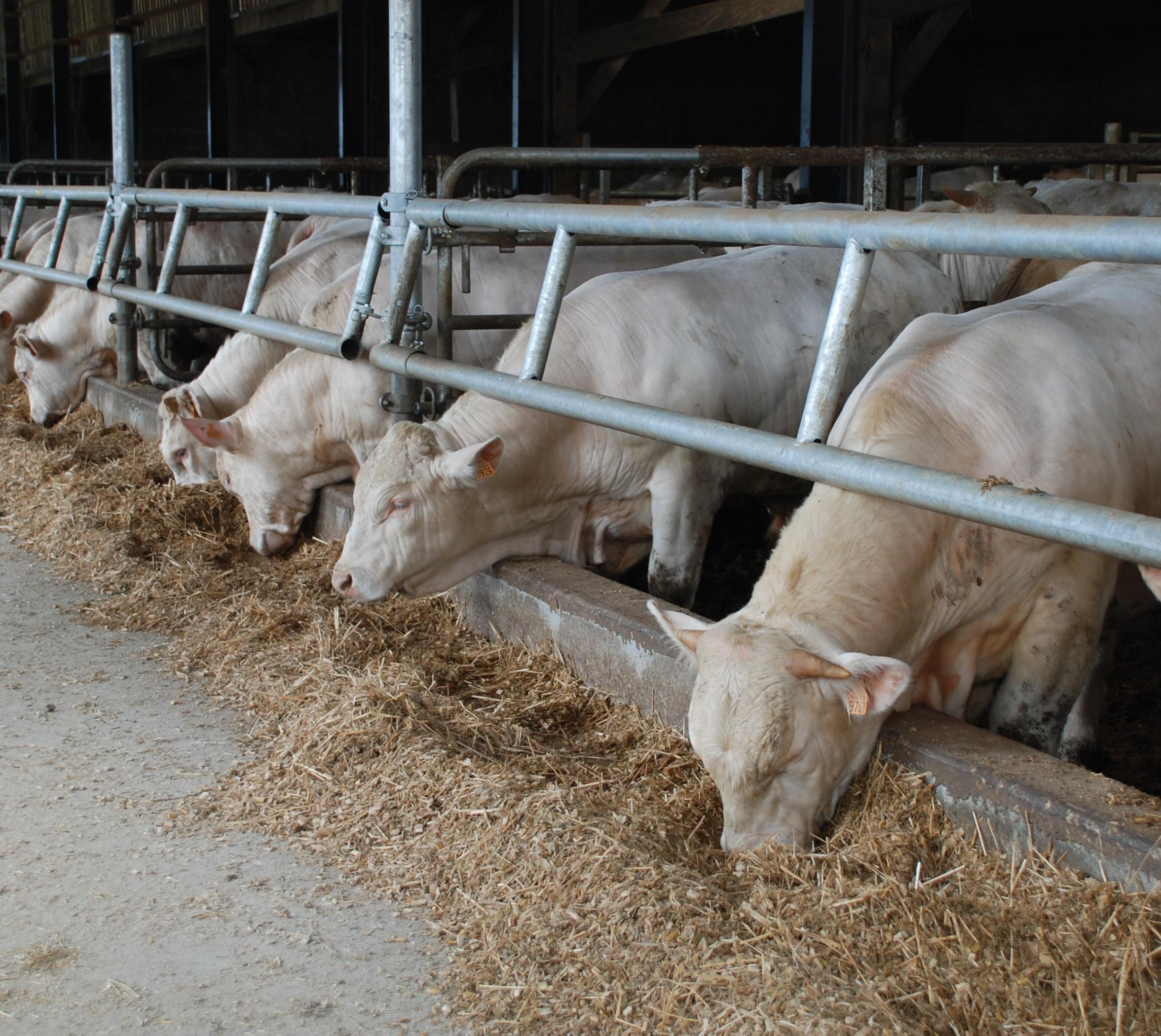charolaise viande bovine