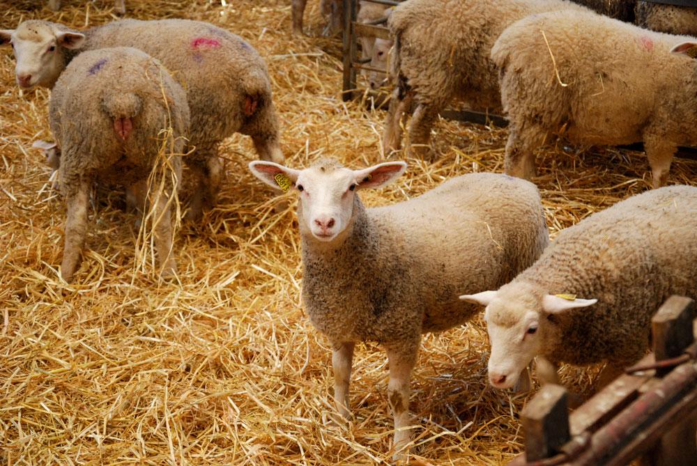 mouton-paille