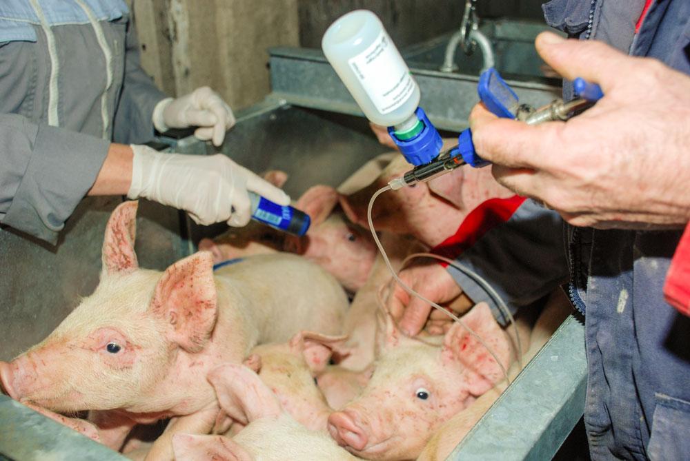 Photo of Porc : Du « sur-mesure » avec les autovaccins