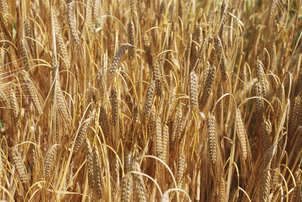 agriculture-bio-semence