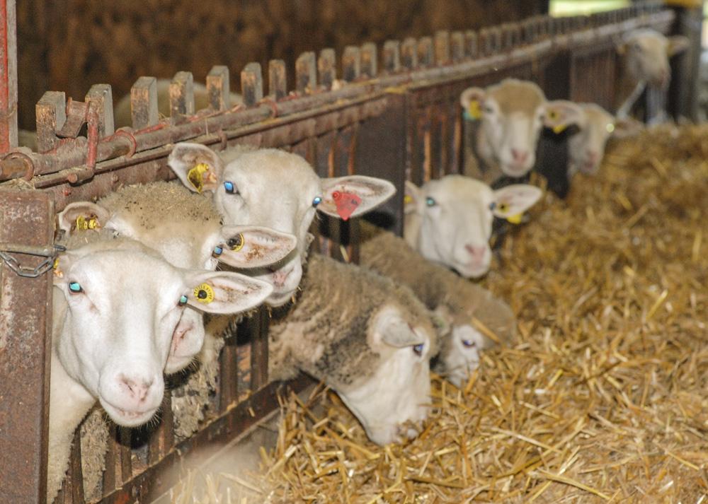 Photo of PAC : notifier les remplacements par les agnelles et chevrettes