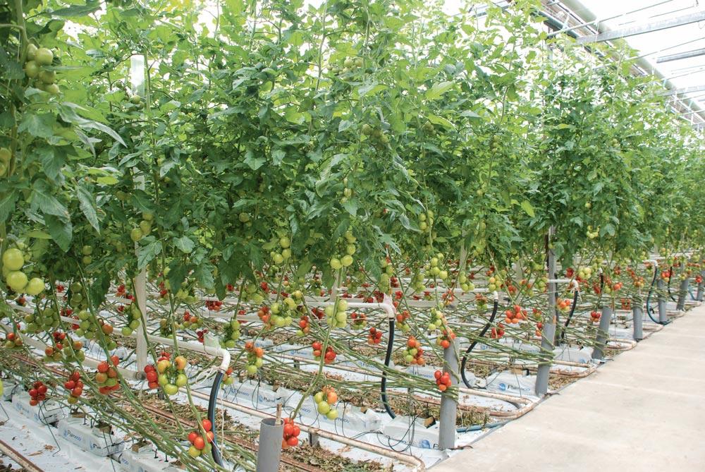 Photo of Les serres à tomates bretonnes règnent