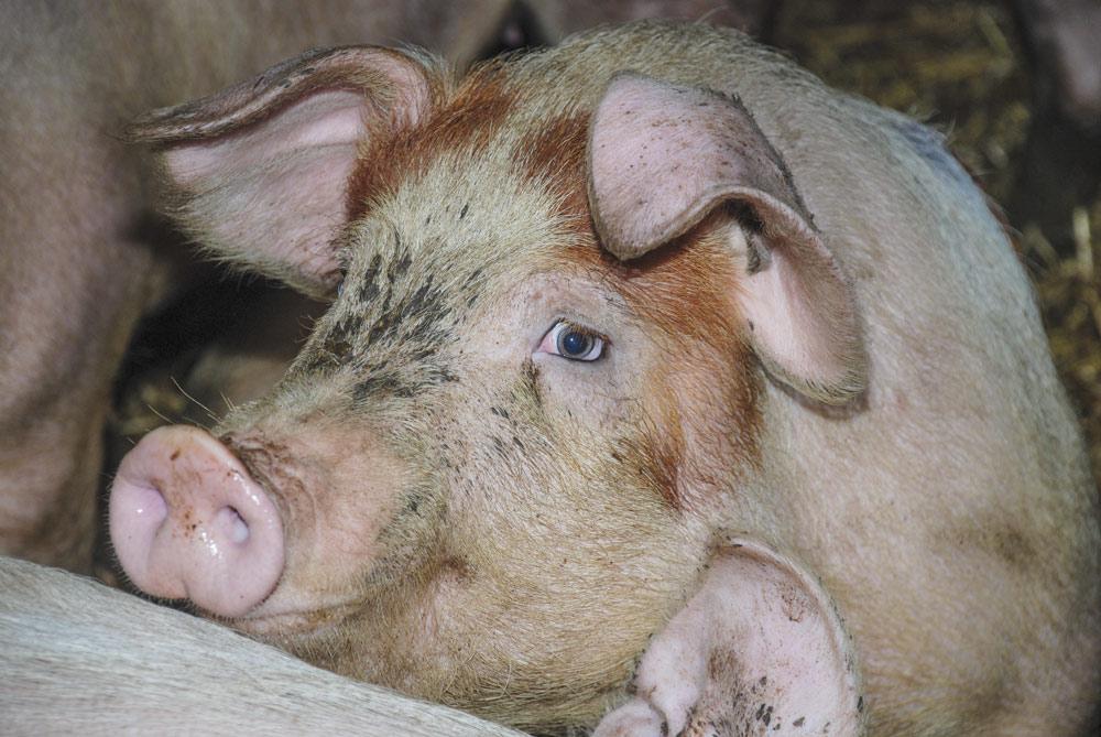 Photo of Quelles rustines pour la production de porc?