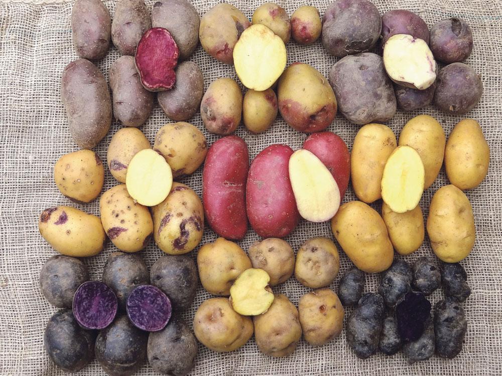 Qui a conserv chez lui ces vari t s de pomme de terre journal paysan breton - Variete de pomme de terre ancienne ...