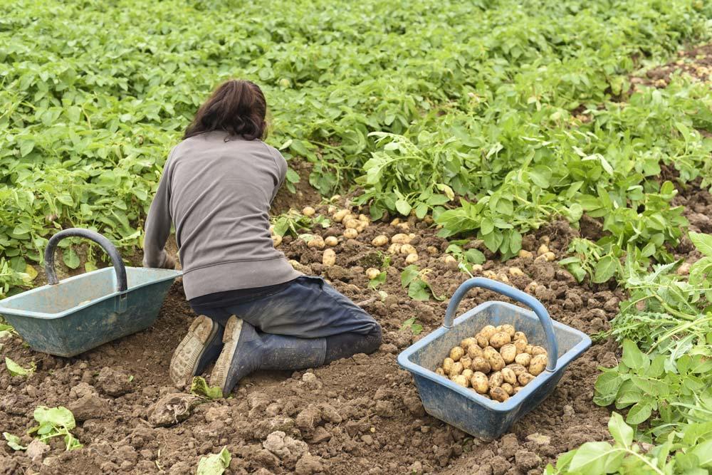 De bonnes nouvelles pour la pomme de terre journal paysan breton - Recolte des pommes de terre ...