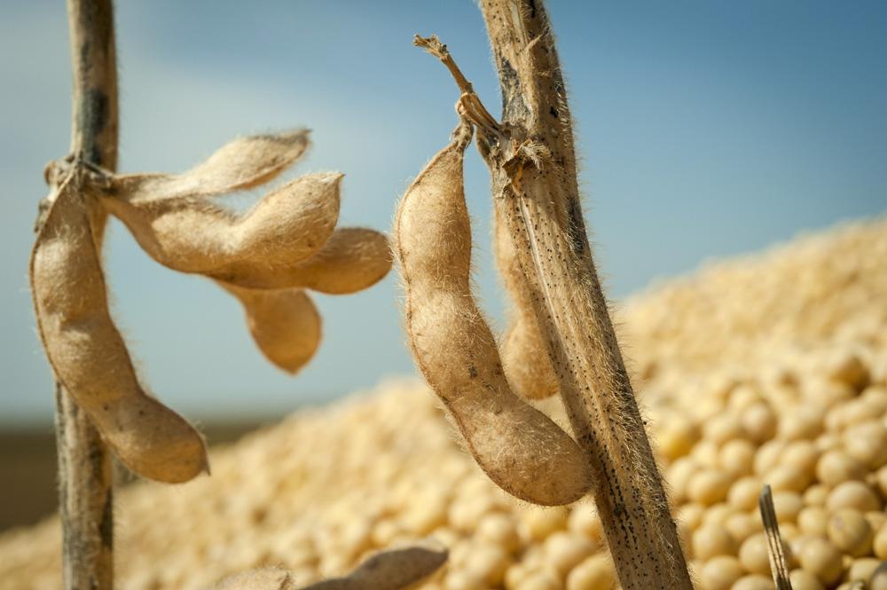 Photo of Des opportunités pour un soja  non OGM français