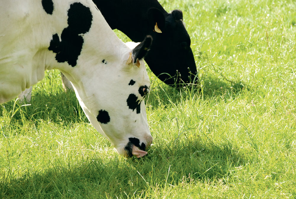 vache-paturage-cout-alimentaire