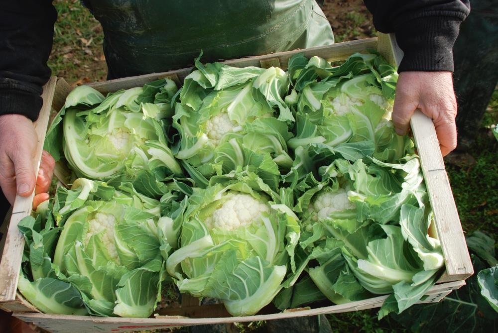 chou-fleur-legumes-saint-pol-de-leon