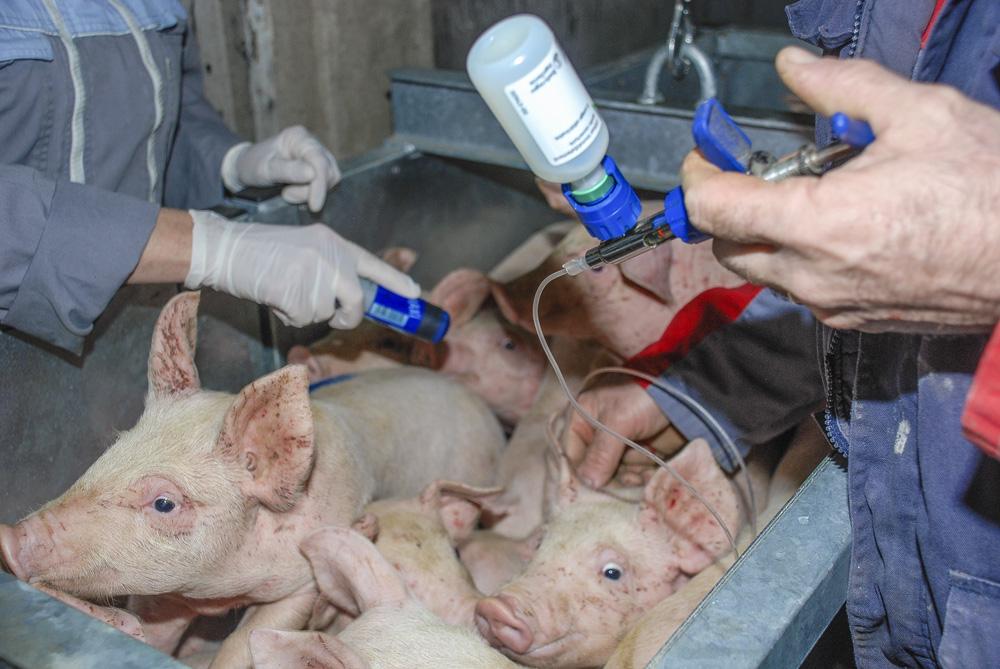 circovirus-porc-vaccin