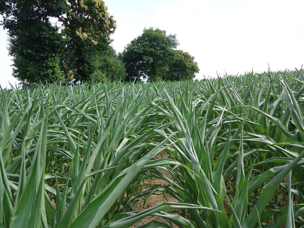 Photo of Un déficit hydrique préjudiciable autour de la floraison du maïs