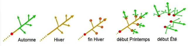 Schéma du développement du trèfle suivant les saisons.