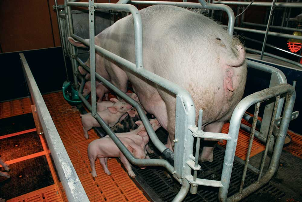 installation-porc-truie-porcelet