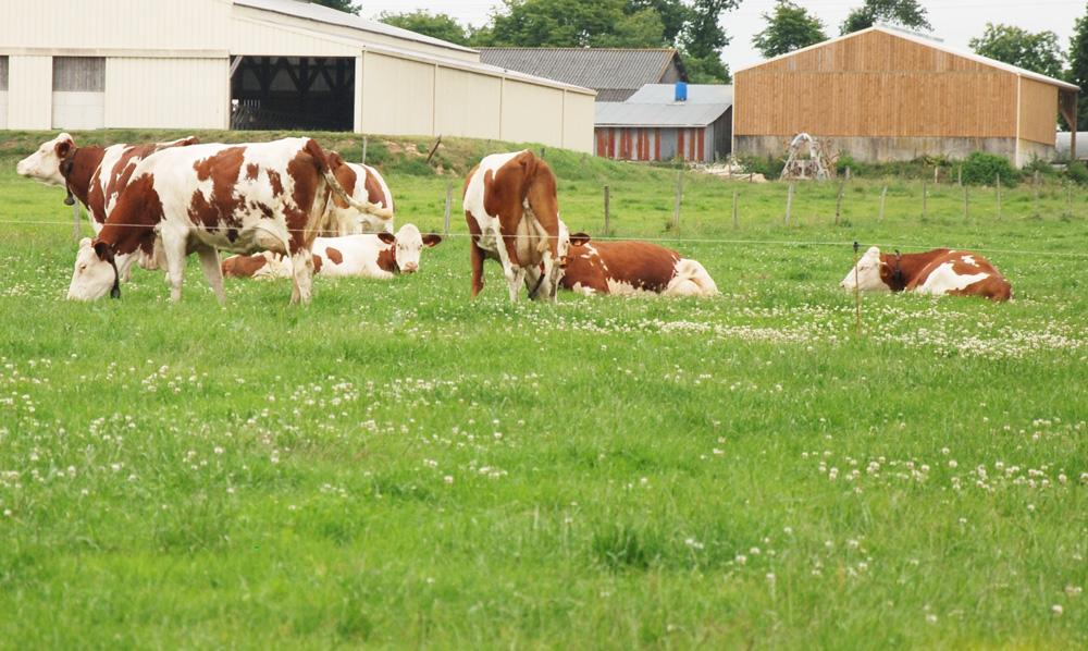 Photo of Faire plus de lait rentable en Montbéliarde