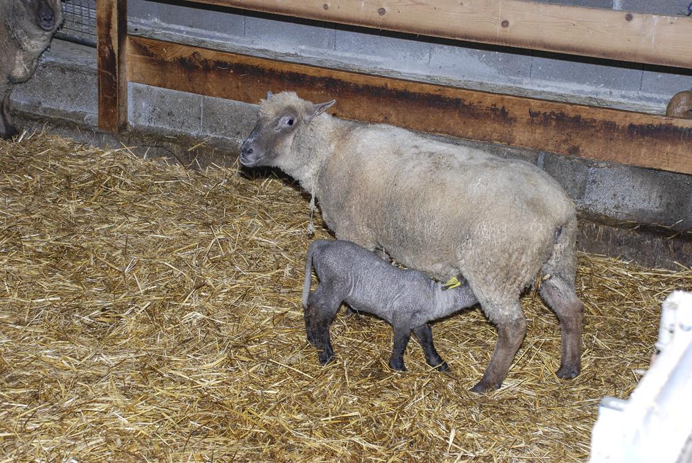 ovin-agneau-mortalite