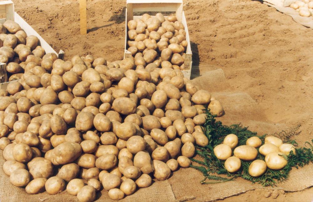 pomme-de-terre-production