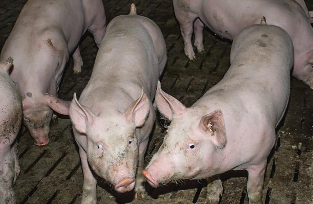 porc-charcurtier