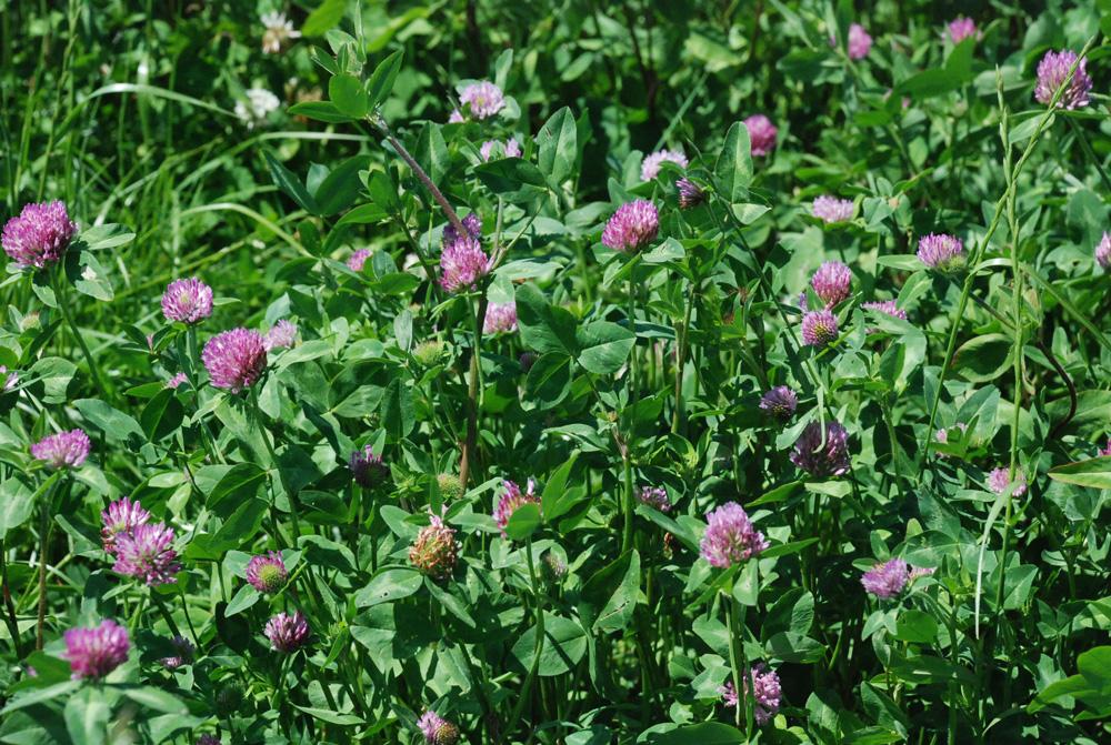 trefle-violet