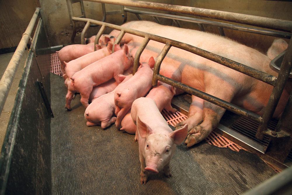 Photo of Baisse des dépenses de santé en porc