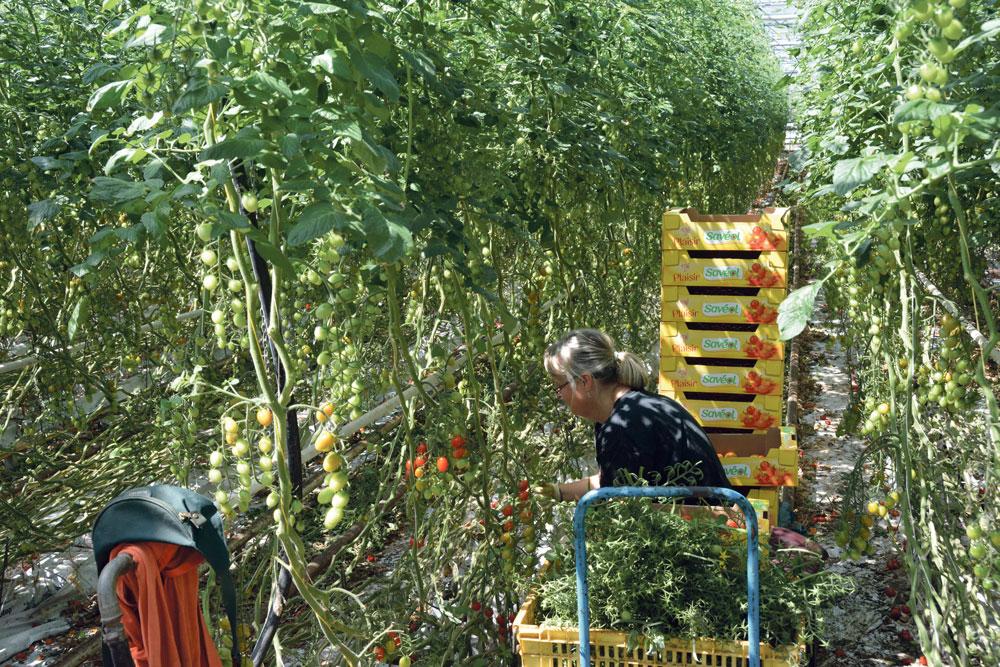 Photo of La tomate française en crise