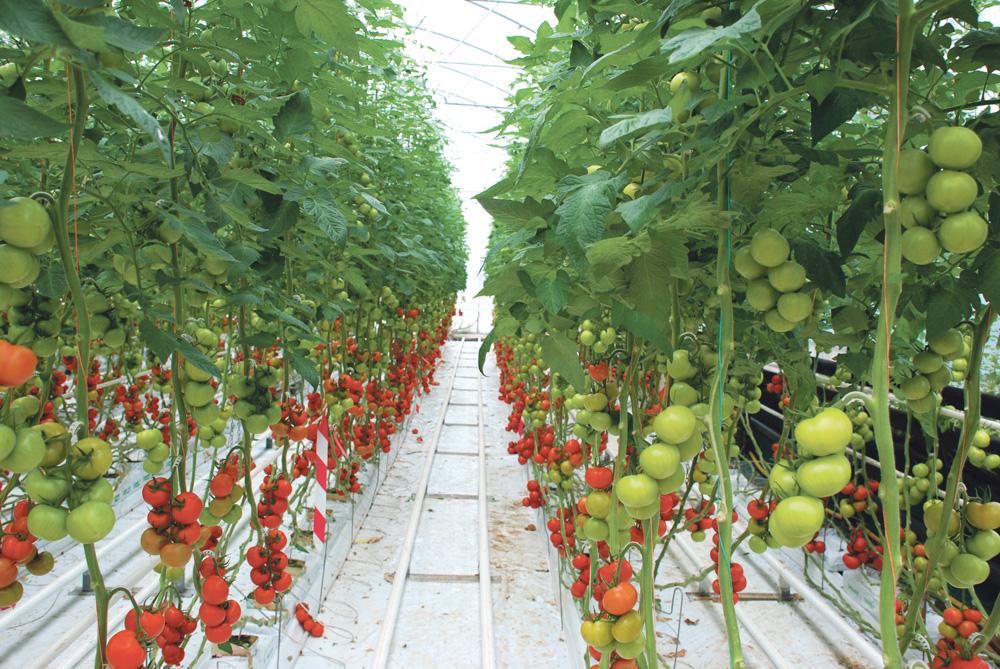 Photo of FDSEA : soutien un producteur de tomate, en conflit avec EDF