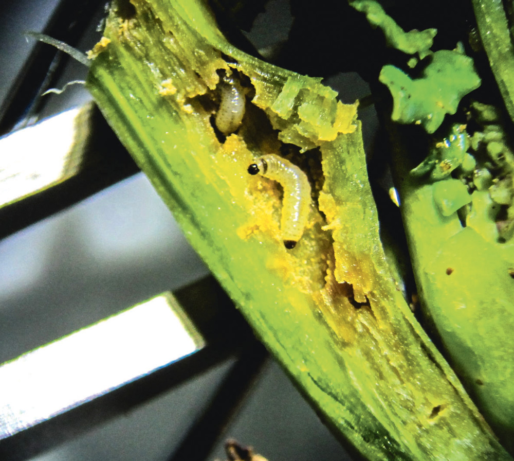 observer les larves de ravageurs | journal paysan breton