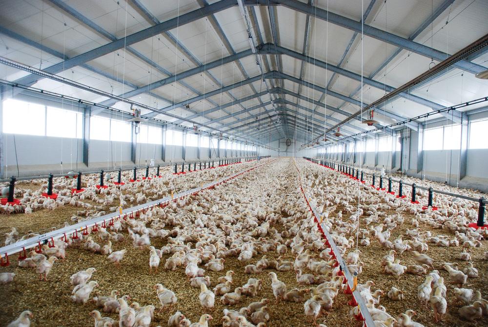 Photo of Le poulet belge compétitif et conquérant