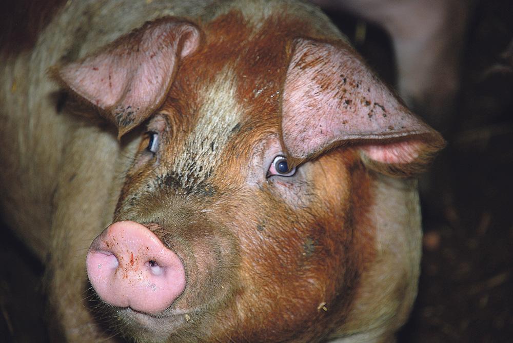 Photo of Russie : Augmentation de la production de porcs en 2016