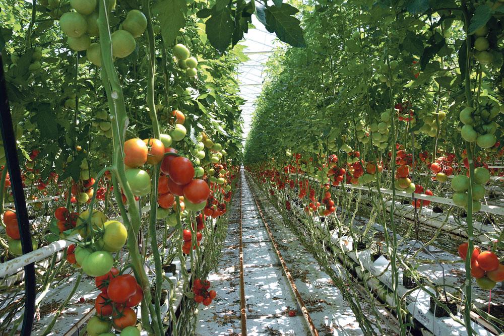 production-2014-tomate-maraichage