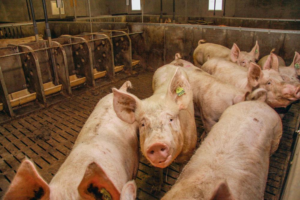 production-prix-porc