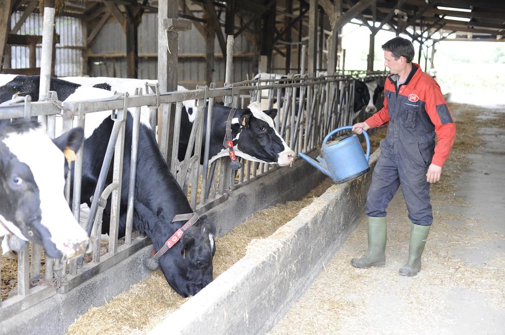 ration-alimentation-vache-allaitante