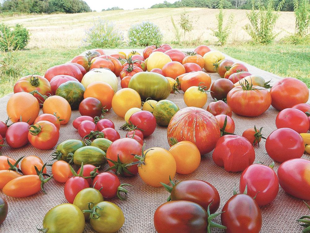 Photo of Des tomates de toutes les couleurs aux Jardins de Kerhan