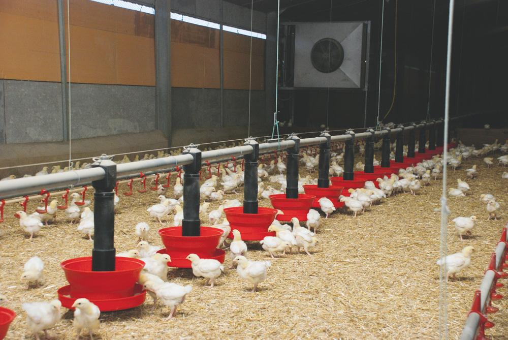 aviculture-poulet-surface-production-demande