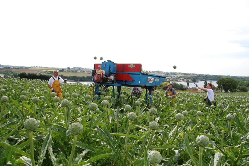 legume-artichaut-recolte-main-oeuvre-revenu-producteur