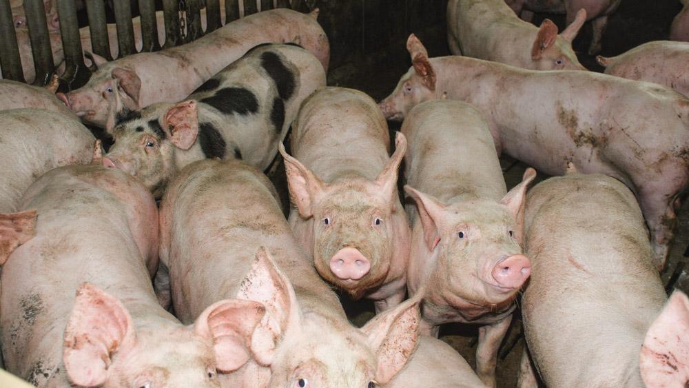 Photo of Porc : une charte pour rassurer les consommateurs