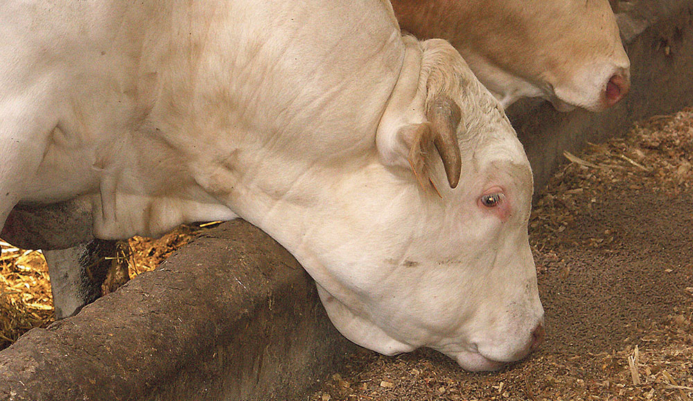 Photo of Aide à l'engraissement de jeunes bovins