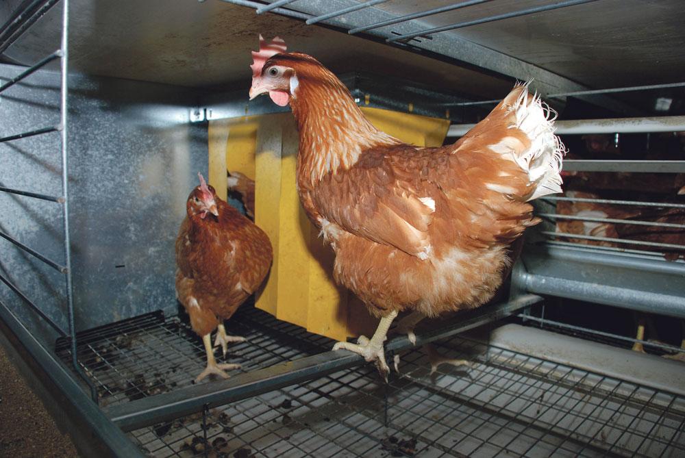aviculture-genetique-environnement-climat-volaille-poulet