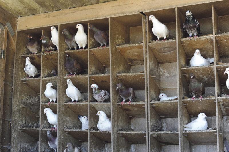 Chaque couple de reproducteurs a deux nids