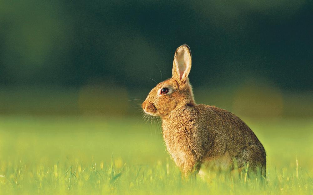 Gestion des lapins de garenne journal paysan breton - Cuisiner le lapin de garenne ...