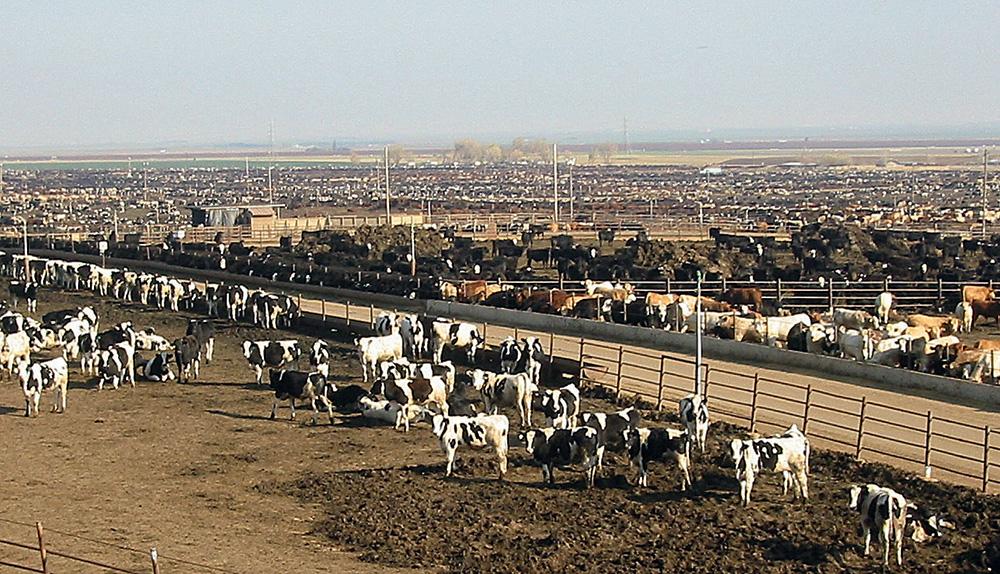libre-echange-vache-bovin-porc-viande-alimentation