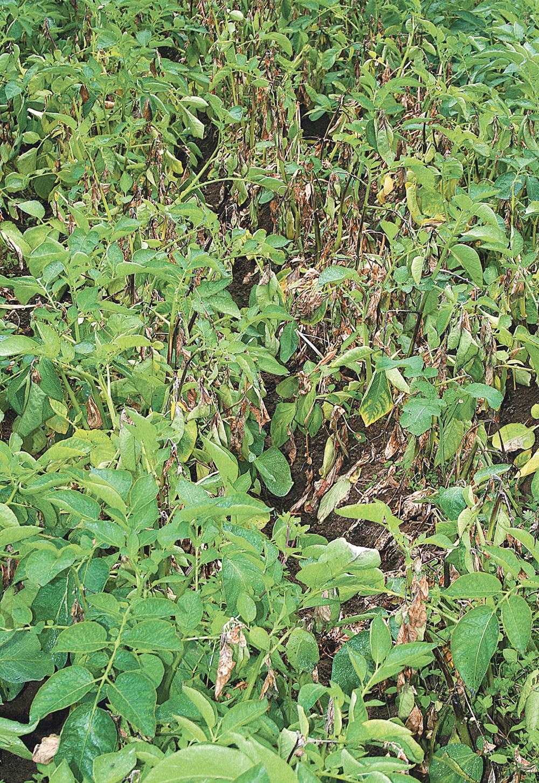 mildiou-pomme-terre-maladie-culture-legume-climat
