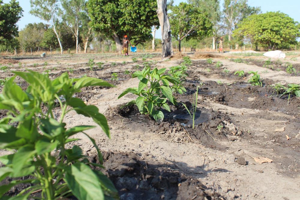 Photo of La pomme de terre peut contribuer à nourrir l'Afrique