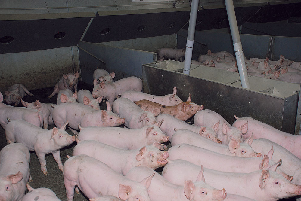 porc-economie-energie-equipement-installation-elevage-porcherie