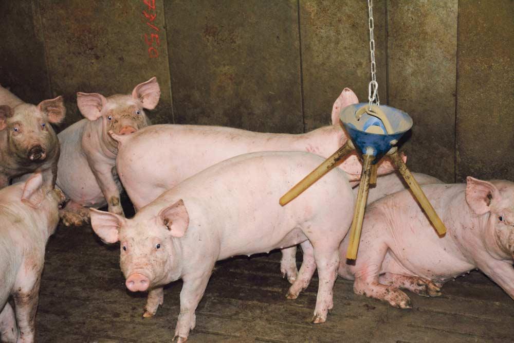 Photo of Les porcs de l'EARL Lefeuvre montent en gamme