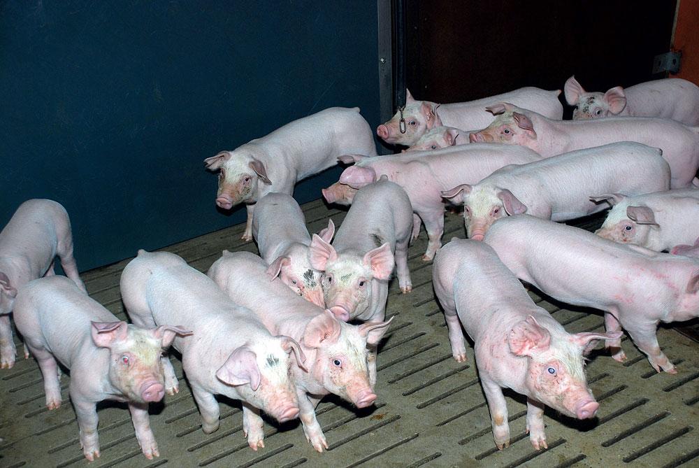 porc-grippe-maladie-virus-sante-animale