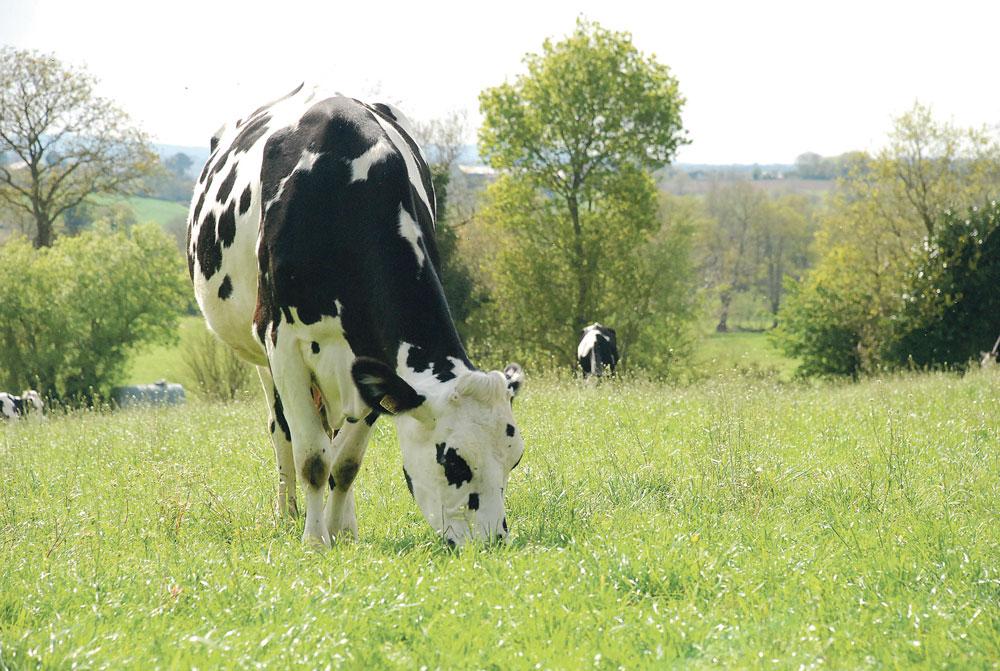 prim-holstein-ray-grass-paturage-fourrage-proteine-culture