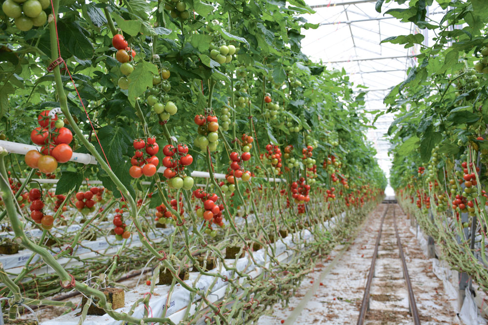 production-tomate-energie-electricite-economie-cogeneration