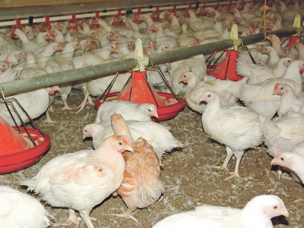 Photo of Installations classées : du nouveau en volailles