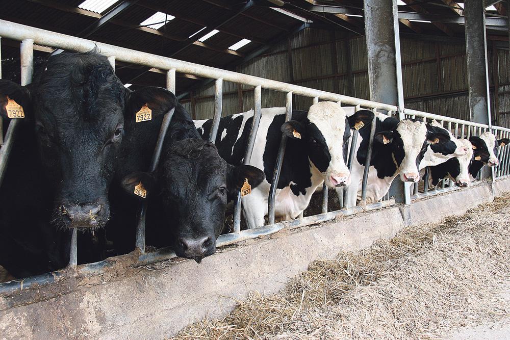 apres-quotas-politique-vache-laitiere-lait-prim-holtein-production
